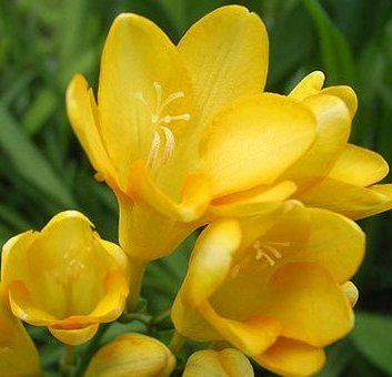 golden freesia