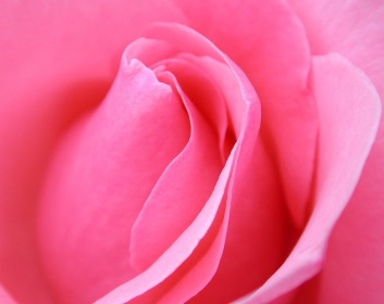 pink-flowers-meaning-9-hd-wallpaper
