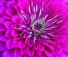 zinnia-benarys-giant-purple