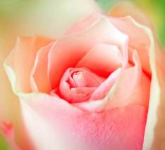 pink-rose-close-up - Copy