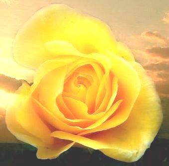 golden rose - Copy