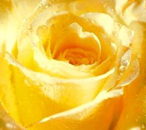 the-search-for-the-rose-of-light-1-golden-rose - Copy